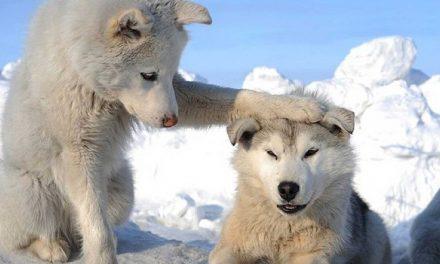 Choisir un husky sibérien