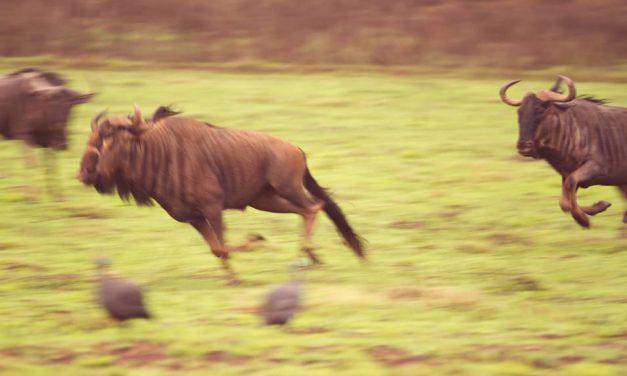 Un safari afrique inoubliable