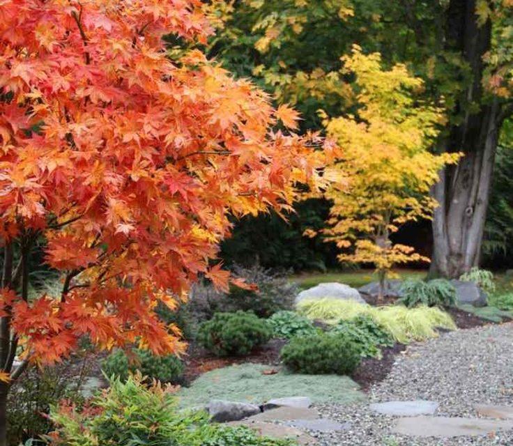 Comment planter un erable du japon ?